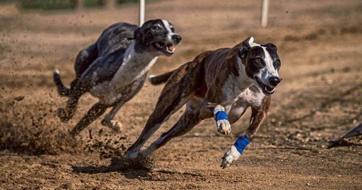 east anglian greyhound derby betting online